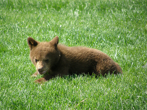 Baby Bear In The Grass