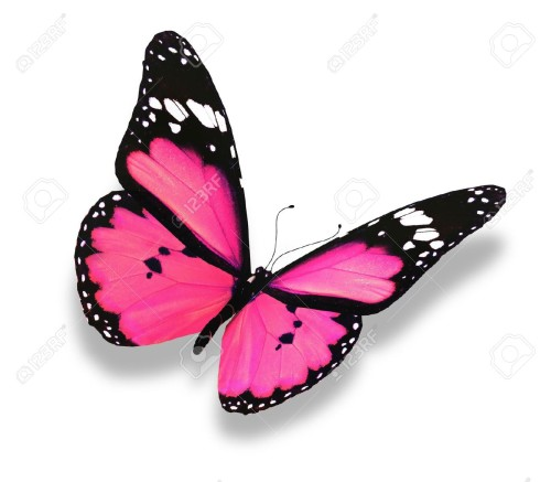 Pink Black Butterfly