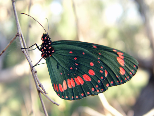 Poision Butterfly