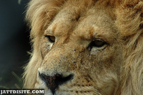 Awesome View Of Lion Face