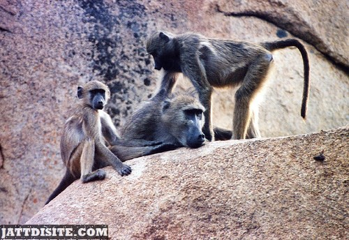 Baboon Family On Hill