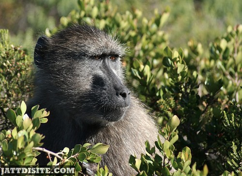 Baboon Inside The Bush