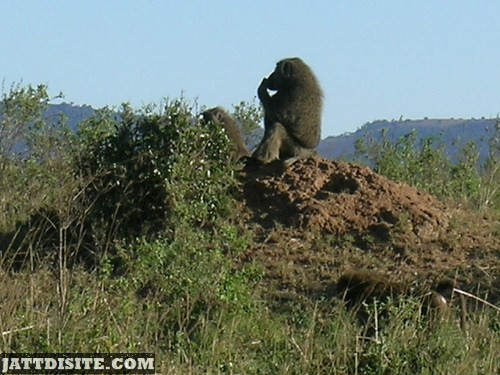 Baboon On The Dirt Hill