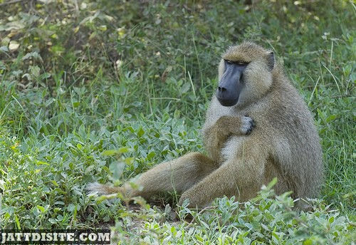 Baboon Sitting On The Grass