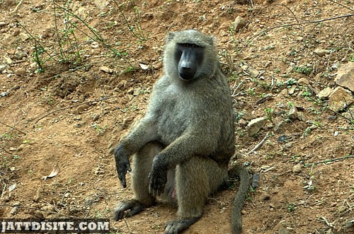 Baboon Sitting On The Sand