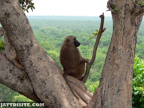 Baboon Sitting On Tree In Forest Canopy