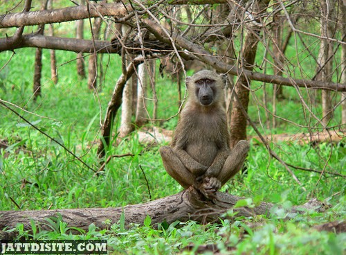 Baboon With Crossed Legs Sitting On Tree Branch