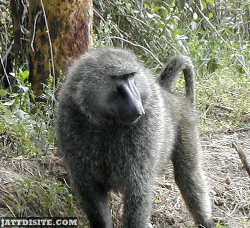 Baboon With Erect Tail