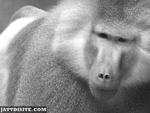 Baboon With Soft Fur