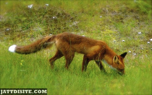 Fox Looking For Something In The GRass