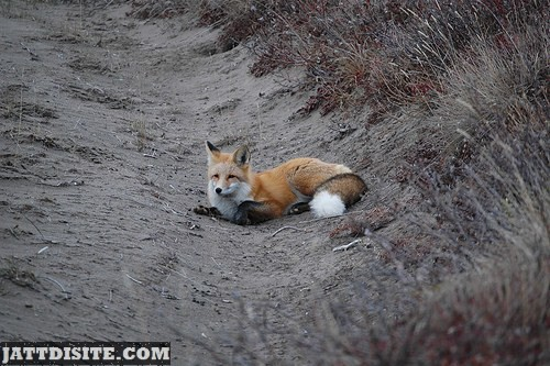 Fox Waiting For Something On The Sand