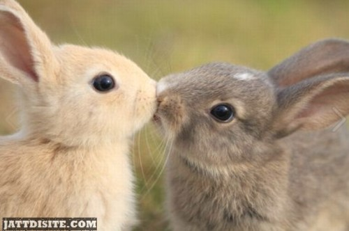 Funny Rabbit Kissing Picture