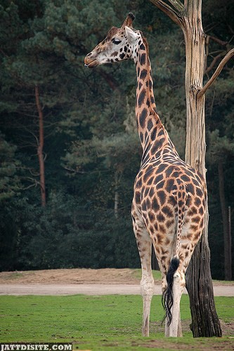 Giraffe Looking In The Side With His Long Neck