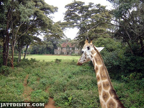 Giraffe With His Long Neck