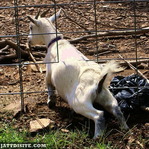 Goat Trying TO Escape From Fence