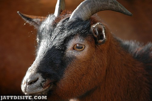 Goat With Lovely BRown Eyes