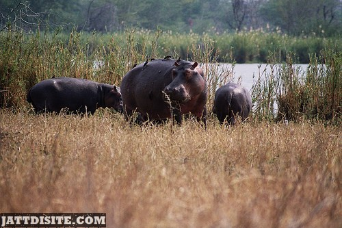 Hippo Eating The Dried Grass