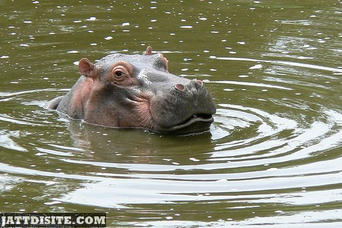 Hippo Face Outside The Water