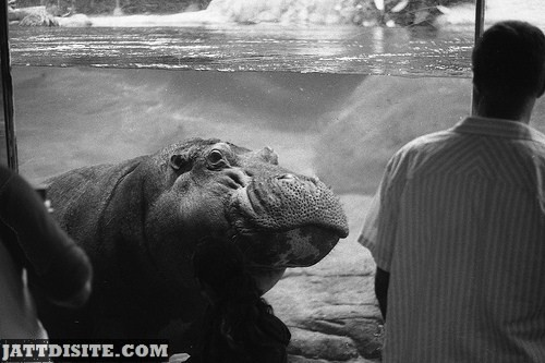 Hippo Watching Visitors From The Mirror