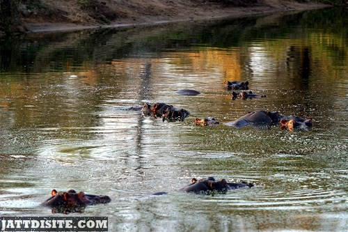 Hippopotamuses In The Muddy Water