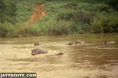Hippopotatmus In The Africa Wild Life
