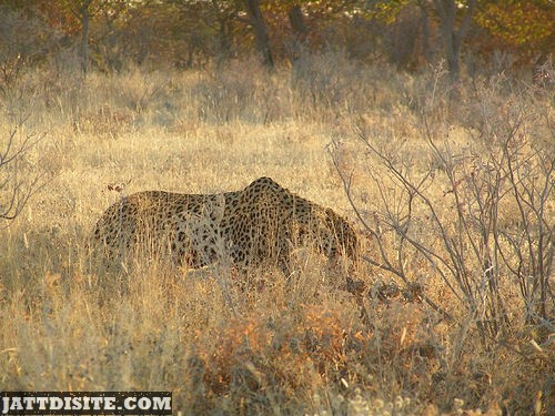 Leopard Behind The Dried Grass