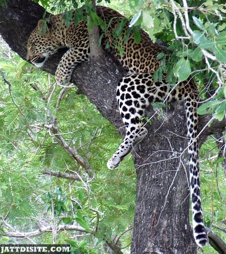 Leopard Resting On The Tree