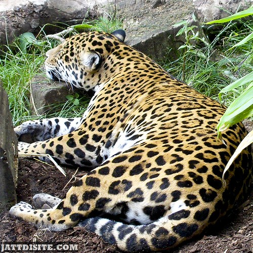 Leopard Resting With Chin On Rock