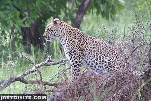 Leopard Waiting For Prey