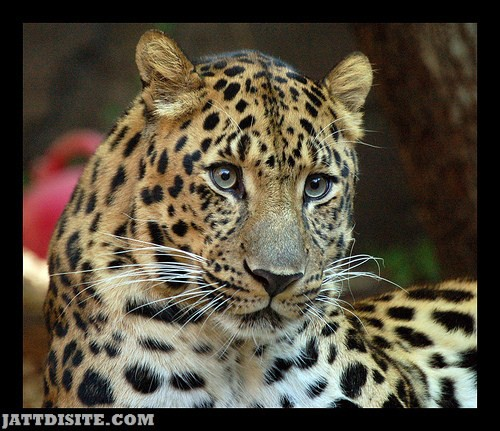 Leopard With Stunning Eyes