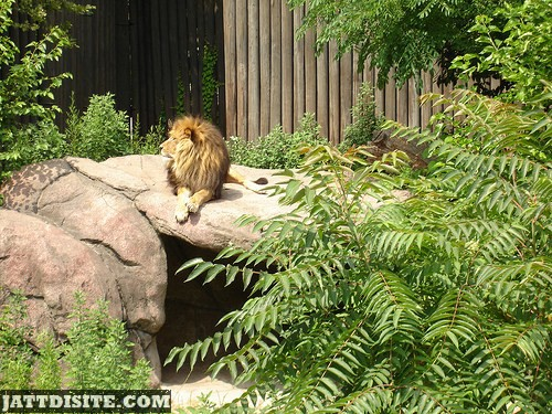 Lion Resting In The Day LIght