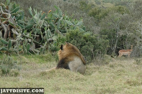 Lion Watching His Prey