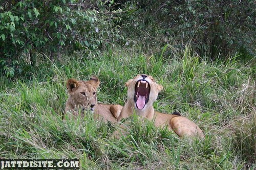 Lion With Wide Open Mouth