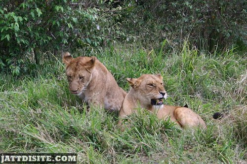 Lioness Sitting Together In The Forest