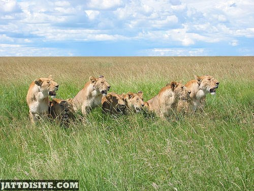 Lions Looking For Their Prey