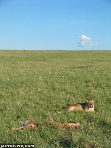 Lions Naping In The Green Grass Land