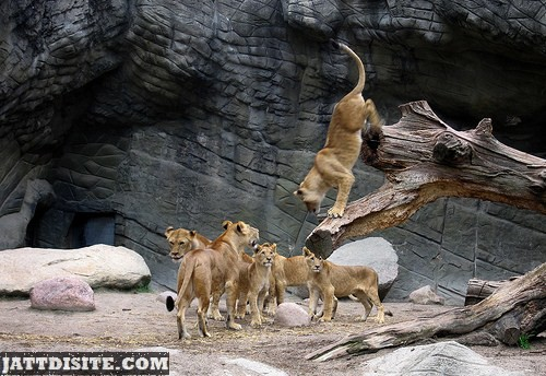 Lions Playing Inside The Zoo