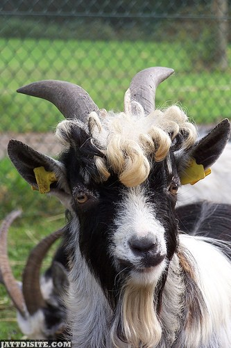 Male Goat With Curly Hair