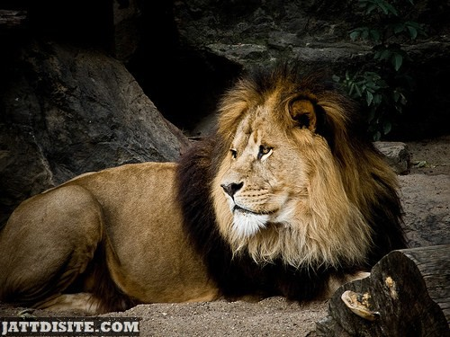 Male Lion In Forest