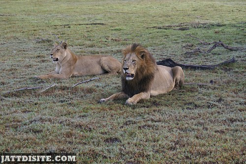 Male Lion With Lioness