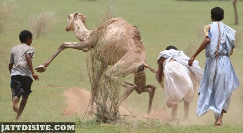Men Trying To Catch The Camel