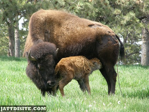 Mother Buffalo  With His Baby