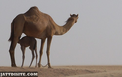 Mother Camel With His Calf
