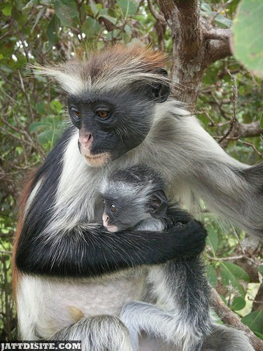 Mother Colobus Holding His Baby