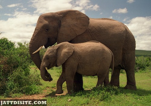 Mother Elephant With Teen Elephant