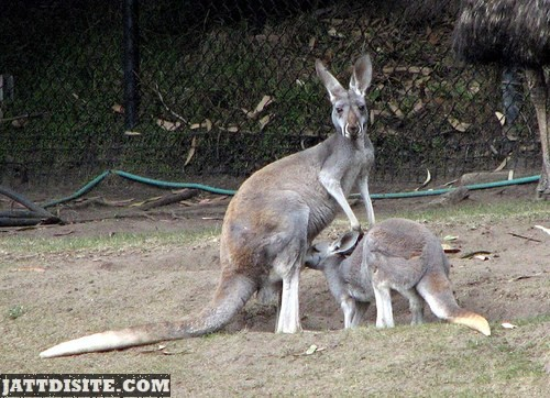 Mother Kangaroo With His Baby