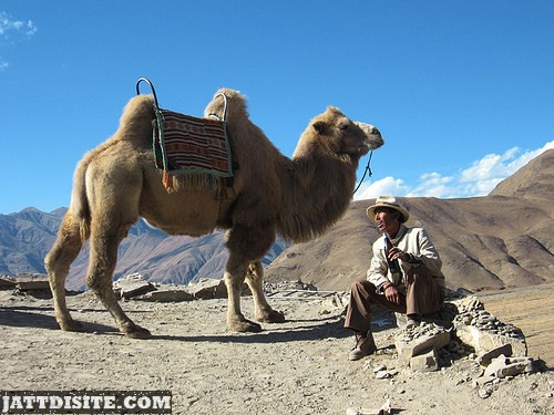 Mountain Camel With Man