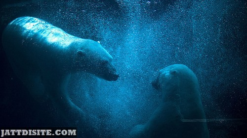 Polar Bears Under The Water