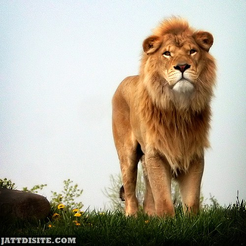 Powerful Wild Lion