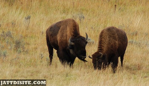 Two Maerican Buffalos In The Dry Grass